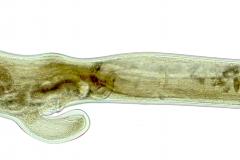 A. sidemi samica