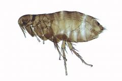 Megabothris turbidus