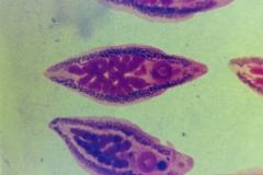 Parafasciolopsis fasciolaemorpha